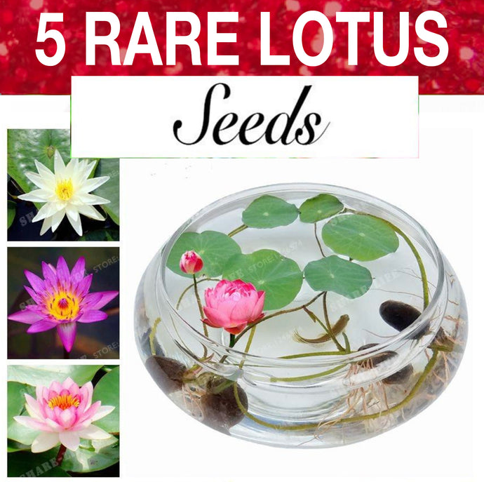 5 Lotus Seeds | Bonsai Bowl Flowers