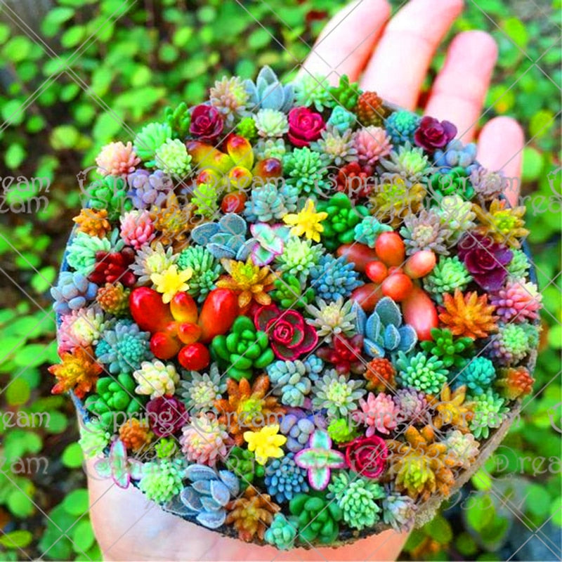 colorful succulent seeds