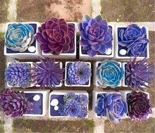 Load image into Gallery viewer, Rare Purple Succulents (100 seeds)
