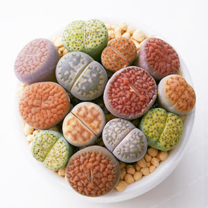 Rare Mix Lithops Succulent Seeds