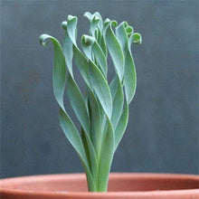 Load image into Gallery viewer, Spiral Succulent Grass Seeds - 100