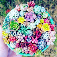 Load image into Gallery viewer, succulent seeds colorful for sale