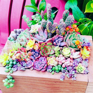 succulent seeds colorful for sale