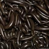 150 Large LIVE Leeches