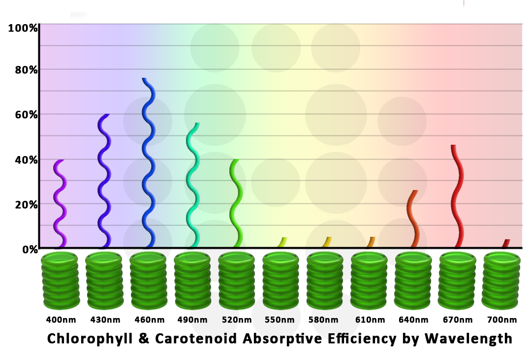 Chlorophyll absorption by wavelength