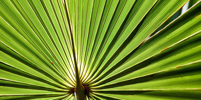 Everything You Need to Know About Saw Palmetto