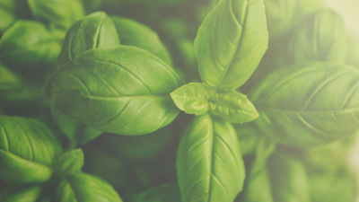 Benefits of Sweet Basil Essential Oil