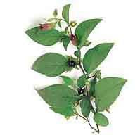 Belladonna Seeds Bulk /0.1gram (Approximately 100 seeds) (Atropa belladonna)