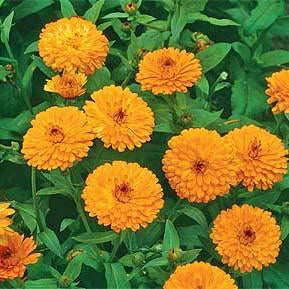 Calendula - Erfurter Orange Calendula Seed Pack (Calendula officinalis 'Erfurter Orange')
