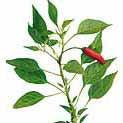 Chile Pepper - Thai Seed Pack (Capsicum annum)
