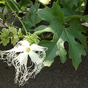 Cucumber - Chinese Cucumber Seed Pack (Trichosanthes kirolowii)