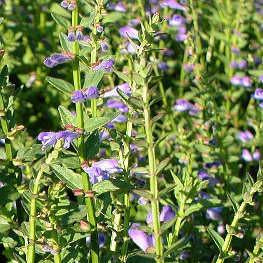 Scullcap - Chinese Scullcap Seed Pack (Scutellaria barbata)