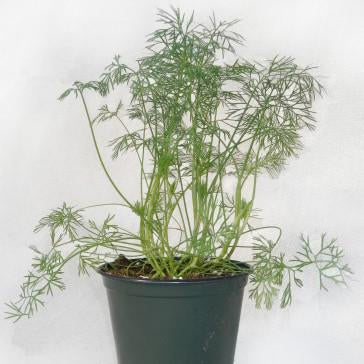 Dill - Hercules Dill Seed Pack (Anethum graveolens)
