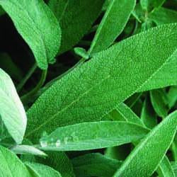 Sage - Extrakta Sage Seed Pack (Salvia officinalis 'Extracta')