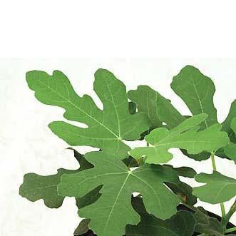 Fig - Hardy Chicago Plant (Ficus carica 'Hardy Chicago')