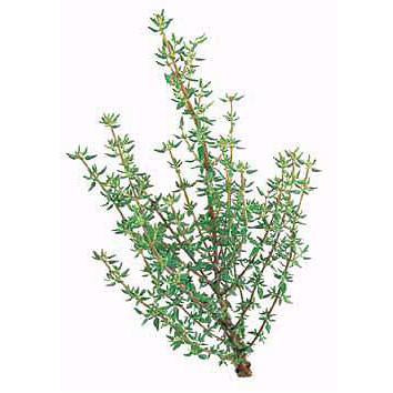Thyme - French Thyme Seed Pack (Thymus vulgaris)