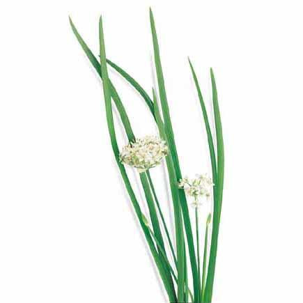 Chives - Garlic Chives Seed Pack (Allium tuberosum)