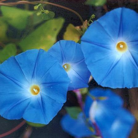Morning Glory (Ipomoea tricolor) 10g of Seeds
