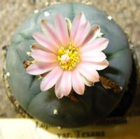 Peyote Cactus Plant - (Lophophora Williamsii)