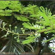 Mimosa (Mimosa hostilis) Powdered Root Bark ( MHRB / Jurema ) /1g