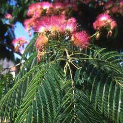 Mimosa Tree Seed Pack (Albizia julibrissin)