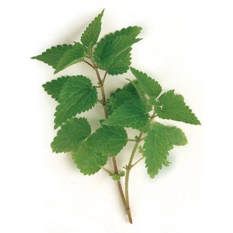 Nettle - Stinging Nettle Seed Pack (Urtica dioica)