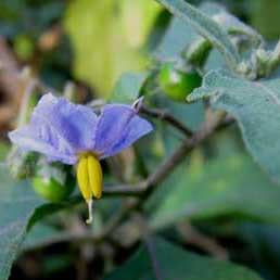 Nightshade - Indian Nightshade Seed Pack (Solanum khasianum)