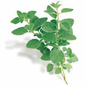 Oregano - Greek Oregano Seed Pack (Origanum vulgare hirtum)