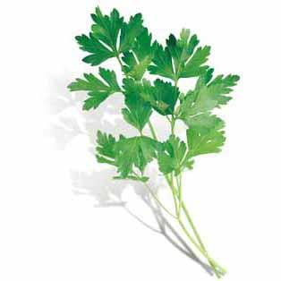 Parsley - Italian Parsley Seed Pack (Petroselinum crispum neapolitanum)