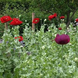 Poppy - Opium Poppy Seed Pack (Papaver somniferum)