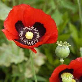 Poppy - Red Opium Poppy Bulk Seeds (Papaver somniferum)
