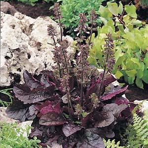 Sage - Purple Volcano Seed Pack (Salvia lyrata 'Purple Volcano')