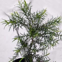 Tea Tree Seed Pack (Melaleuca alternifolia)