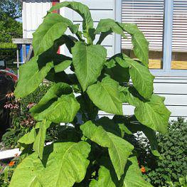 Tobacco - Ontario Bold Seed Pack (Nicotiana tabacum 'CT572')