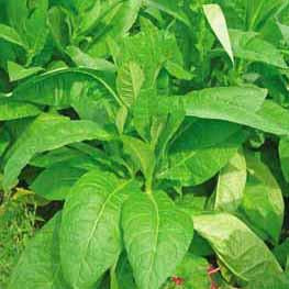 Tobacco - Wild Tobacco Seed Pack (Nicotiana rustica)