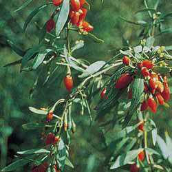 Goji / Gojiberry Seed Pack (Lycium barbarum)