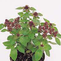 Basil - Magical Michael Basil Seed Pack (Ocimum basilicum 'Magical Michael')
