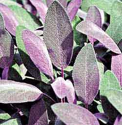 Sage - Purple Plant (Salvia officinalis 'Purpurea')