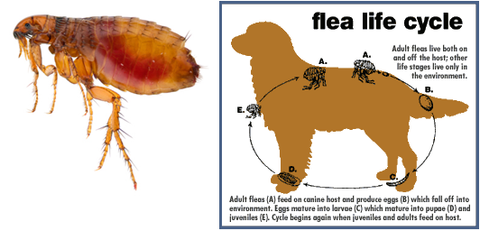 Fleas For All The Family Family Pets People Ecologica Environmental Pest Control