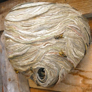 Wasp Nest Removal & Treatment