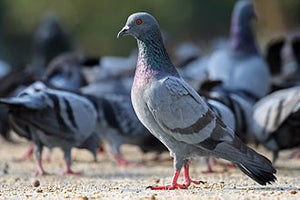 Bird Dropping 'Pigeon Guano' Licensed Removal