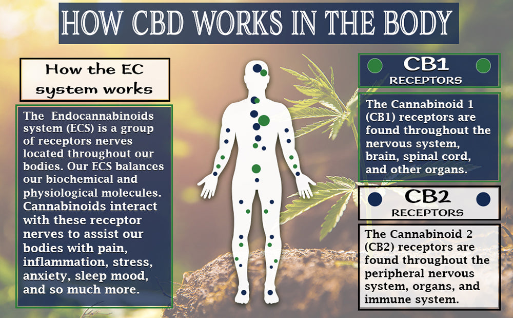 Endocannabinoid graphic explaining CB1 and CB2 receptors. What is CBD Oil Used For?