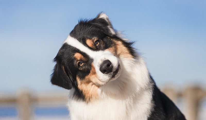 Hemp oil uses for canines.