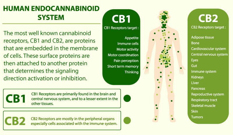 How the best hemp oil in the usa works with the endocannabinoid system