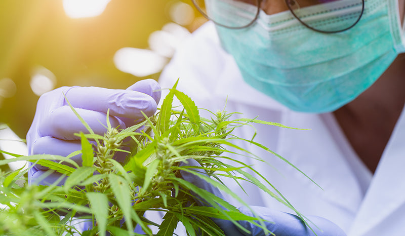 Scientist studying the hemp plant. Everything you need to know about CBC
