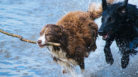 dog in water running with stick in mouth. buy CBD for dogs online USA.