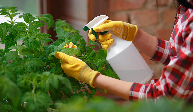 Spraying plant leaves after using directions for neem oil as an insecticide on plants