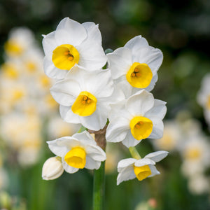 Bulbos de Narcisos (pack 8)