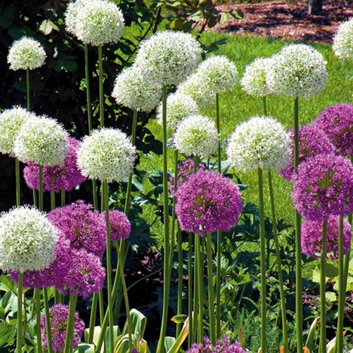 Bulbos de Allium gigante(pack 5)