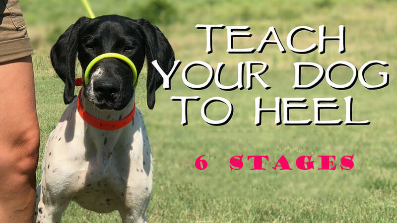 Teaching A Dog To Heel In 6 Simple Stages